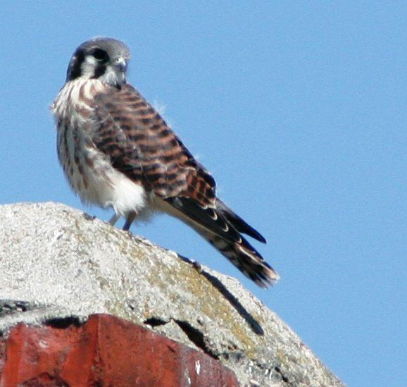 Peregrine Falcon on Roof